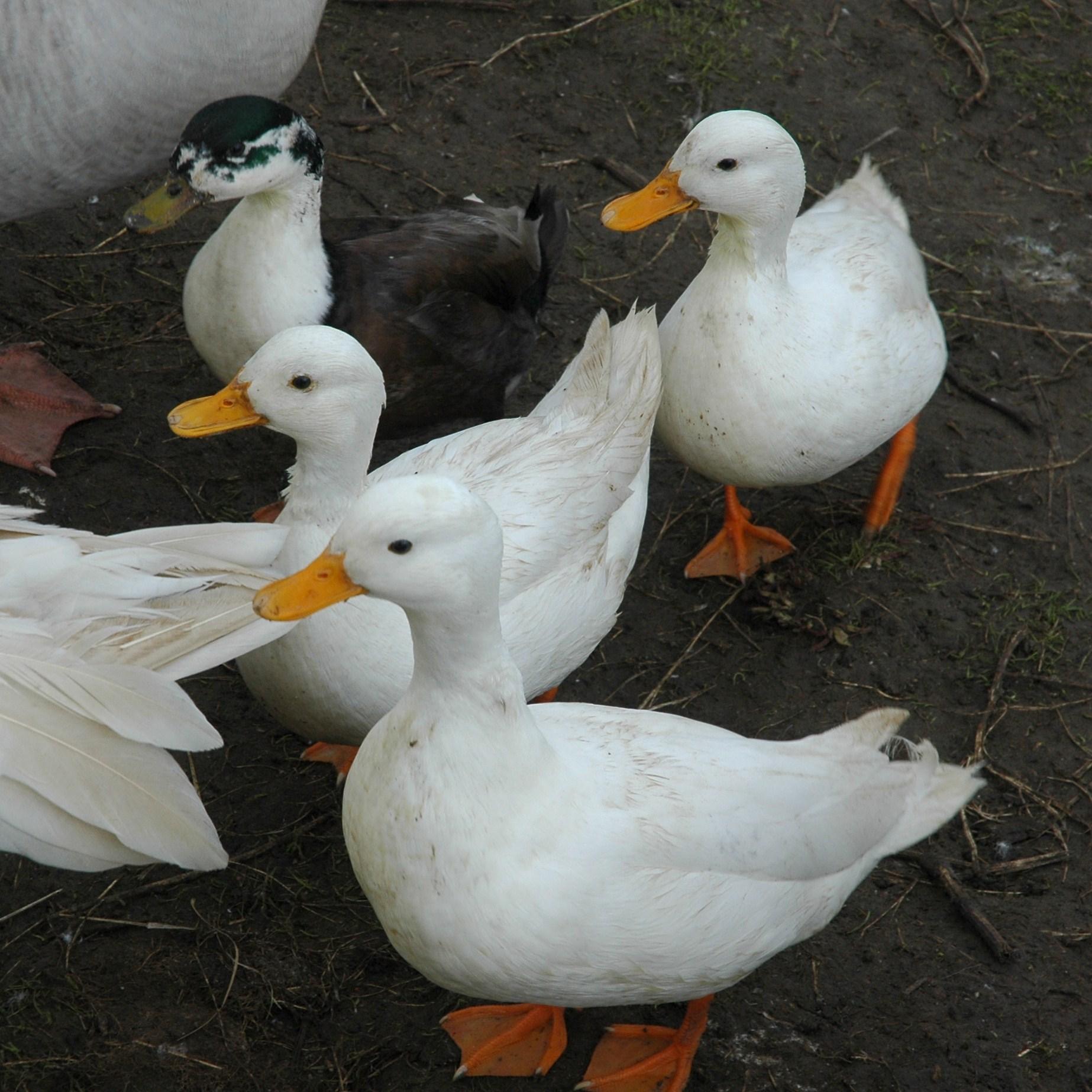 Bird flu hits duck farm in Bulgaria's Yambol