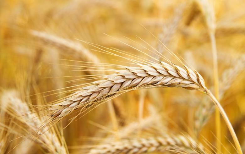 Croatia sees 2019 wheat output up 3.9%, rapeseed harvest down 30%