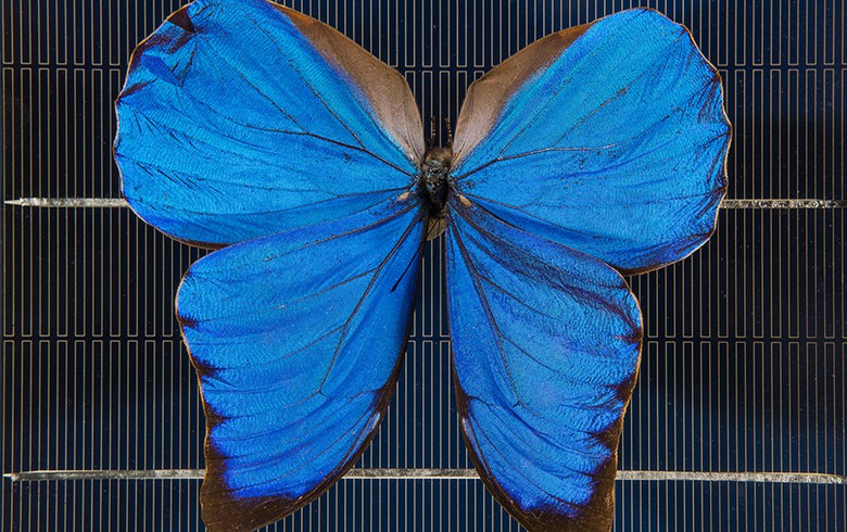 Aussie scientists to lift solar efficiency with butterfly's help
